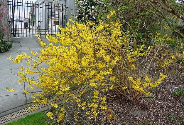 Forsythia flowers for your garden.PNG