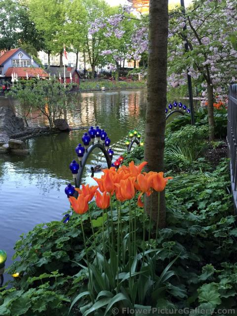 Orange Tulips Next to Pond at Tivoli Gardens.jpg