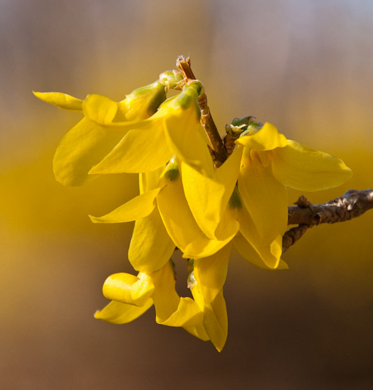 Forsythia plants image.PNG