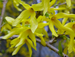 Forsythia prune photo.PNG