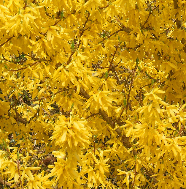 Forsythia shrubs.PNG