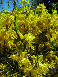forsythia x intermedia.PNG