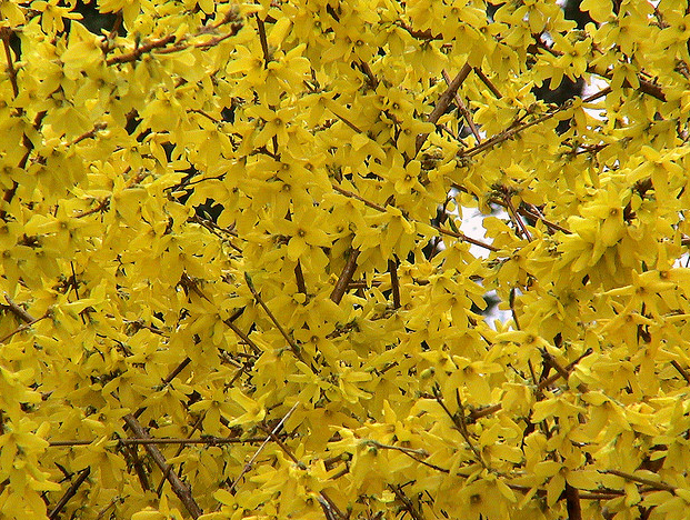 flower forsythia, Beautiful flower