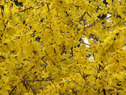 fragrant flower Forsythia.PNG
