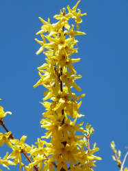 Grow flower Forsythia in yellow.PNG