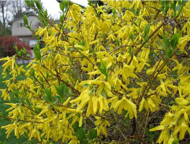 Planting Forsythia flowers in bright yellow.PNG