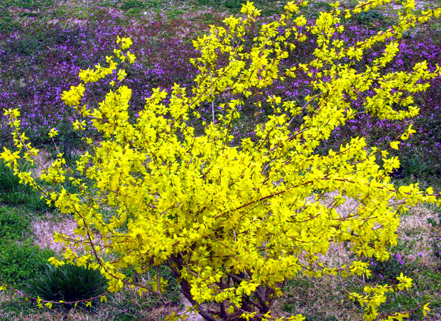 Planting shrubs with forsythia flowers in bright yellow colorg mightylinksfo