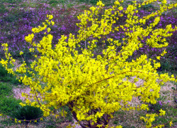 Planting shrubs with Forsythia flowers in bright yellow color.PNG