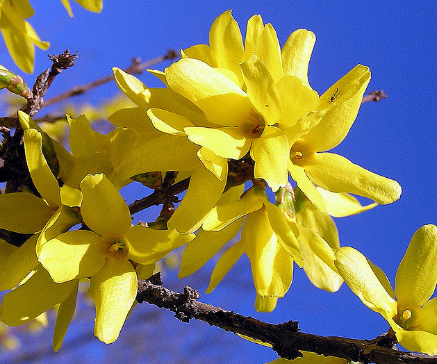 Pretty forsynthia flowers in bright yellow.PNG