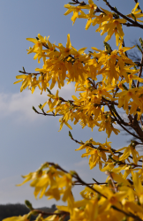 Shade flower Forsythia in yellow color.PNG