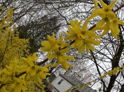 Trees flower Forsythia in beautiful yellow.PNG