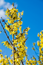 Yellow Forsythia landscape flowers.PNG