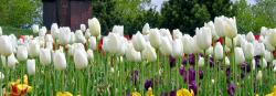 Spring Tulips bloom in many different colors.PNG