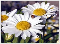 daisy flowers photos.jpg