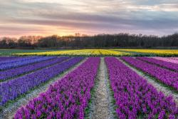 Colorful flowers fields pictures.JPG