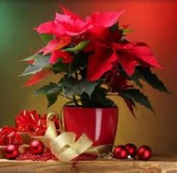 Trendy Christmas flowers gifts with poinsettias in red.JPG