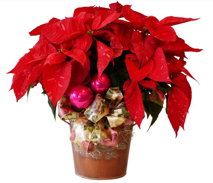 Red poinsettia flowers with hot pink ornaments.JPG