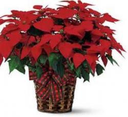 Red poinsettia with red bow.JPG