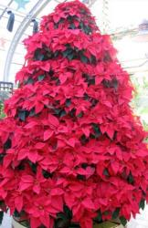 Red Poinsettias flowers Christmas tree image.JPG