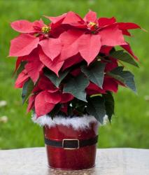 Red poinsettias with Christmas planter perfect for flowers Christmas present.JPG