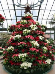 Three colors poinsettias Christmas tree image.JPG