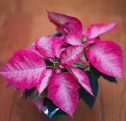 Unique poinsettia pink flowers photos.JPG