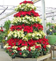 White and red poinsettias Christmas tree.JPG