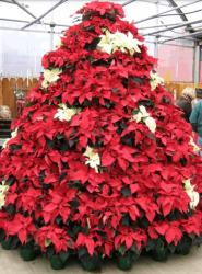 Beautiful Poinsettias Christmas tree with white and red poinsettia flowers.JPG