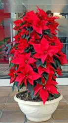 Beautiful poinsettias flowers in red.JPG