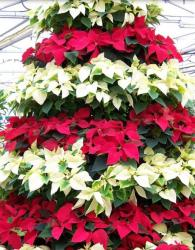 Christmas White Red Poinsettia Flowers.JPG
