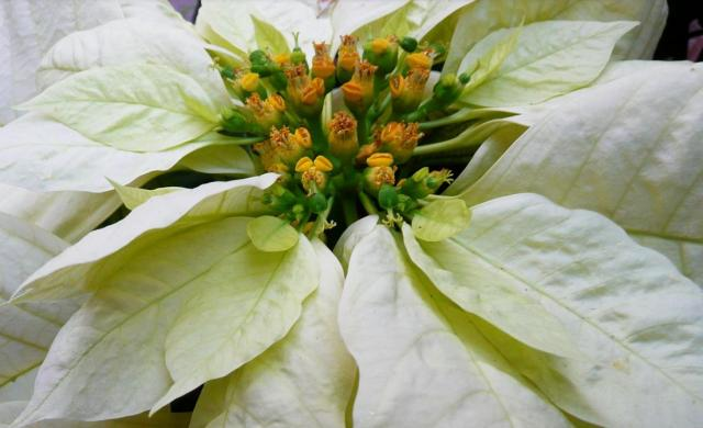 Close up picture of white poinsettias.JPG