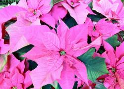 Hot pink poinsettia flowers photos.JPG