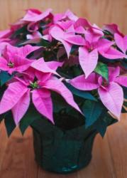 Hot pink poinsettias phots.JPG
