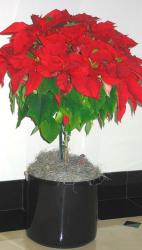 Indoor Poinsettias planters pictures.JPG