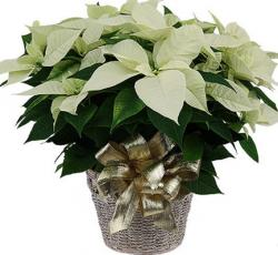 Ivorey poinsettia flowers photos.JPG