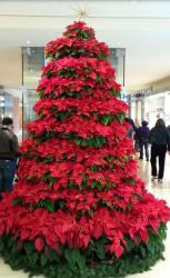 Large poinsettias flower Christmas trees photo.JPG