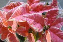 Marble poinsettia plants picture.JPG