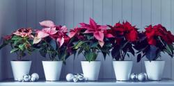 Modern house Christmas decoration with stylish white planters with red and pink poinsettias and silver ornaments.JPG