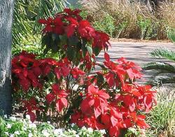 Outside Poinsettia plants pictures.JPG