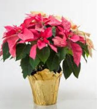 Pink poinsettia flowers with gold wrap.JPG