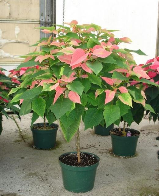 Pink poinsettia planters photos.JPG