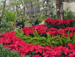 Poinsettia flowers garden photos.JPG