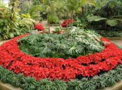 Poinsettia Plant Display.JPG