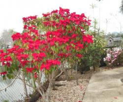Poinsettia Plant Trees.JPG
