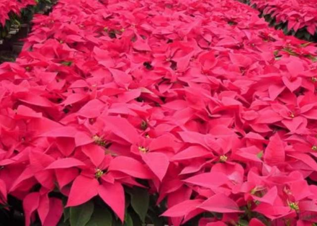 Poinsettia season flowers pictures.JPG