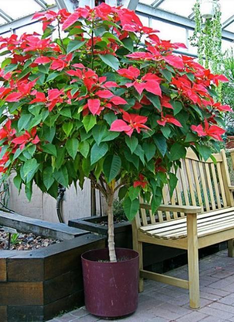 Poinsettia tree in planter.JPG