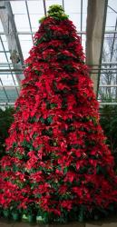 Fresh poinsettias Christmas tree flowers.JPG