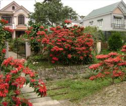 Garden poinsettias plants pictures.JPG