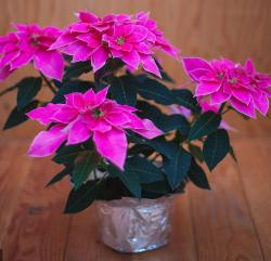 Hot pink poinsettias pictures.JPG