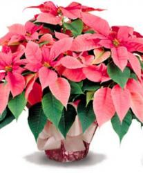 Large marble  pink poinsettias pictures.JPG
